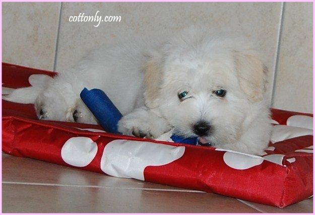 Cottonly ~ Coton de Tulear ~ mladički