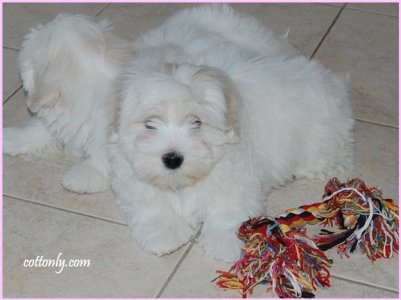 © Cottonly ~ Coton de Tulear