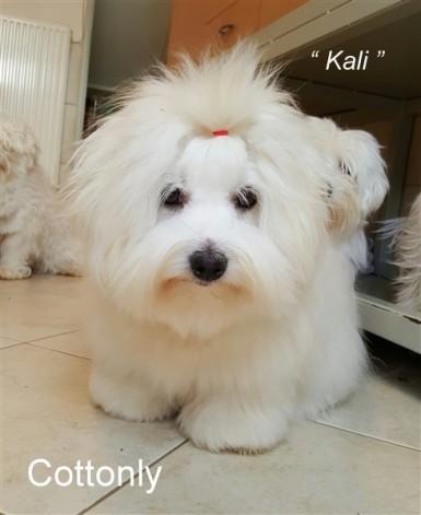 """ KALI "" - Cottonly Callista"