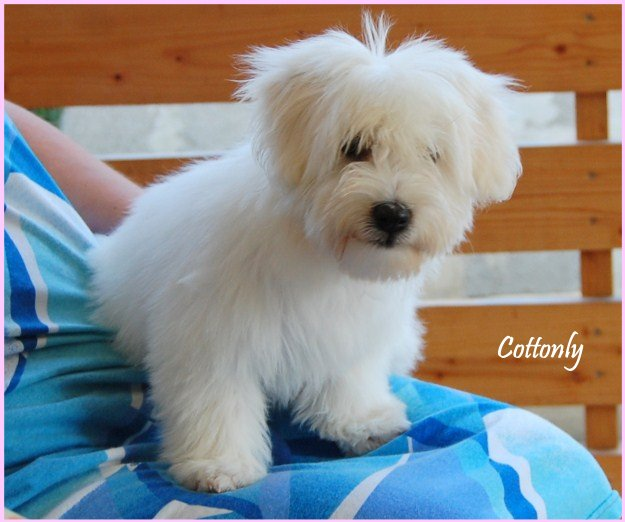 COTTONLY Coton de Tulear