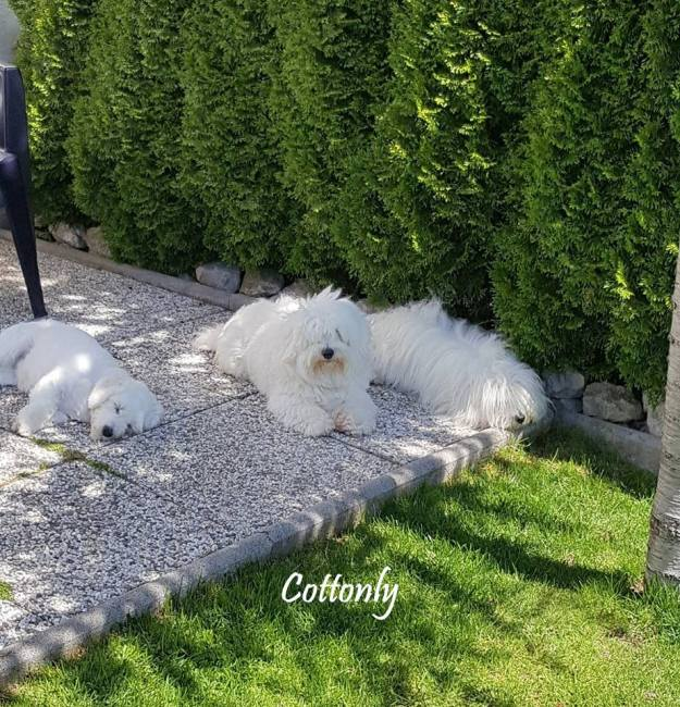 Cottonly - Coton de Tulear