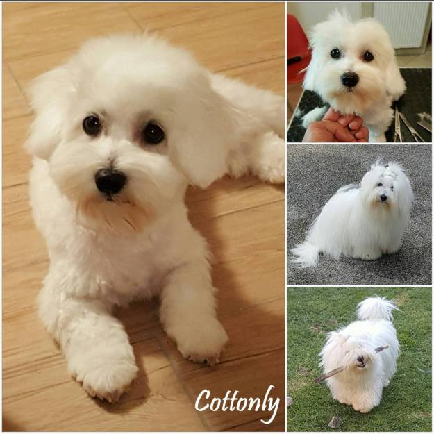 Cottonly ~ Coton de Tulear