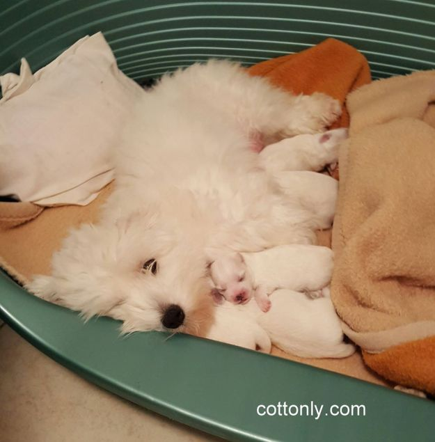 © COTTONLY Coton de Tulear